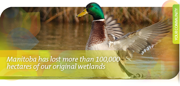 Manitoba has lost more than 100,000  hectares of our original wetlands
